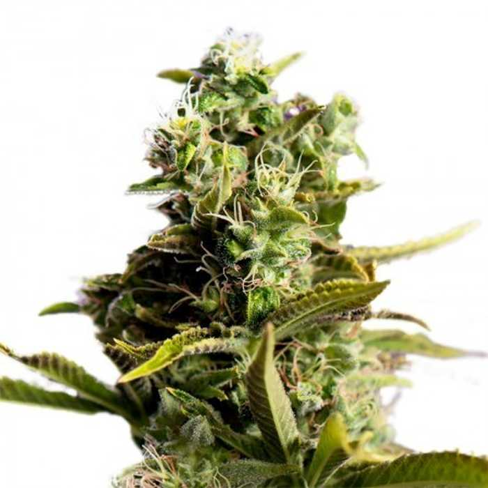 Painkiller Feminized Seeds